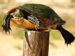 Texas Post Turtle